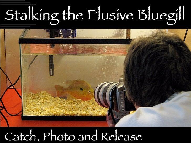 Stalking the Elusive Bluegill