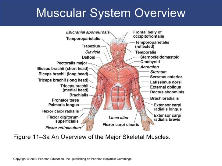 an overview of the muscular system of the human body