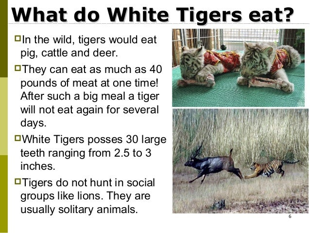 White Tigers Eating Meat What do White Tigers Eat