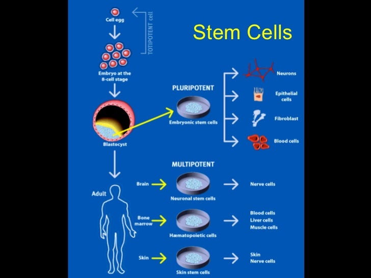 presentation about adult stem cell research