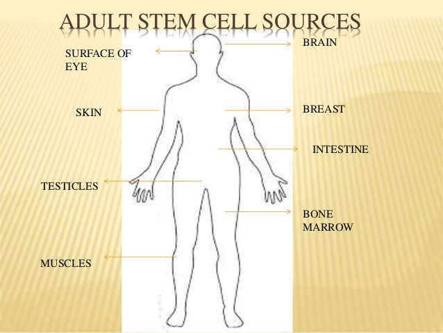 Adult stem cell - Wikipedia