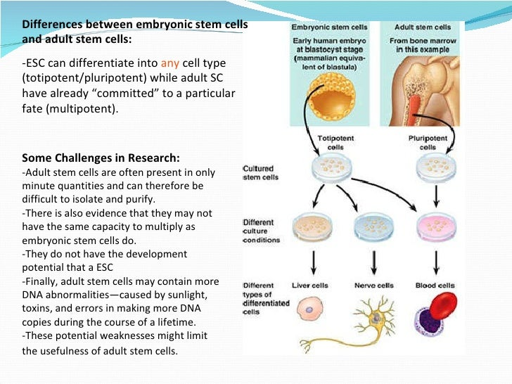embryonic stem cells essay example Access to over 100,000 complete essays and term papers  but not the complete organism embryonic stem cells - that is, those 50 cells within a blastocyst, which .