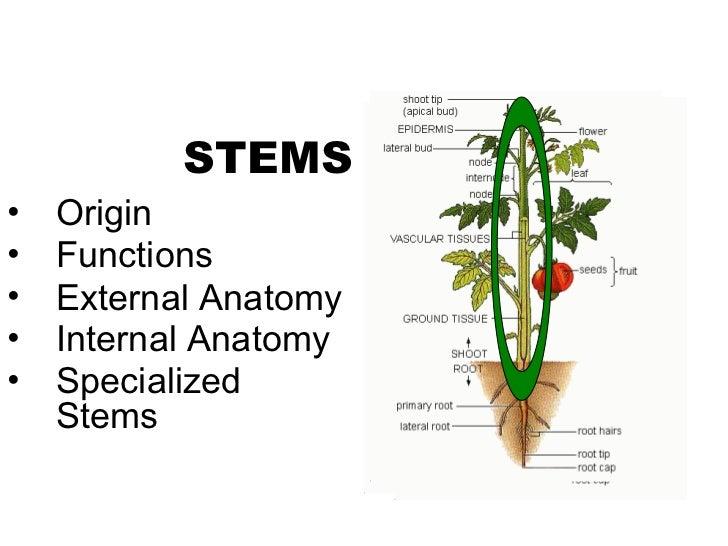 STEMS•   Origin•   Functions•   External Anatomy•   Internal Anatomy•   Specialized    Stems