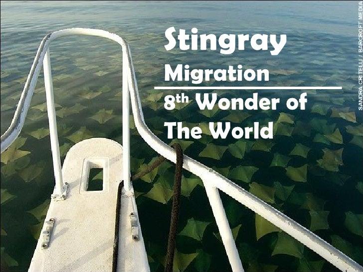 Stingray  Migration  8 th  Wonder of The World