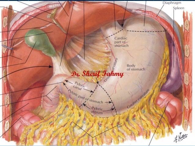 Anatomy picture of abdomen