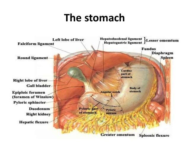 Stomach anatomy diagram