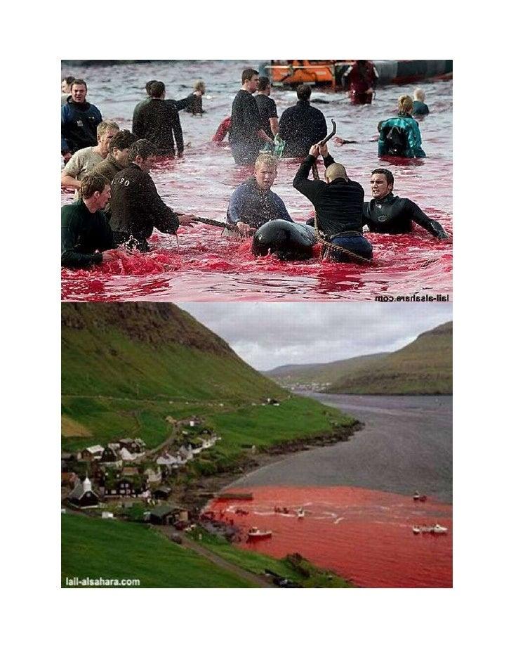 Stravičan pokolj delfina u Danskoj...!!!