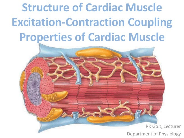 Structure of cardiac muscle excitation contraction coupling properties of cardiac muscle