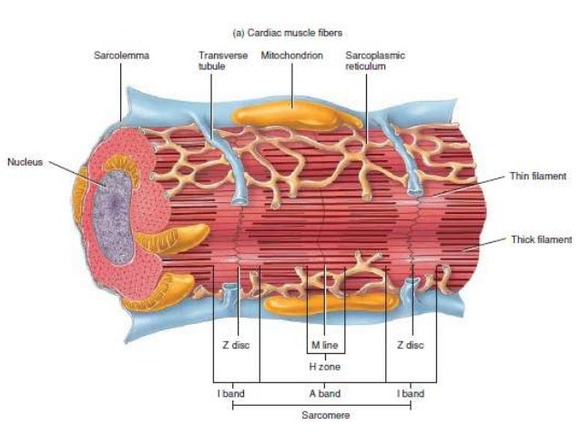heart and cardiac muscle Other articles where cardiac muscle is discussed: muscle: cardiac muscle: the  heart is the pump that keeps blood circulating throughout the body and thereby.