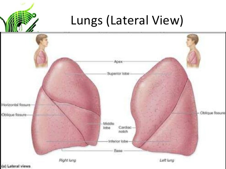 bronchiectasis respiratory system and posterior chest Anatomy and physiology of respiratory system   bronchiectasis  techniques in chest physiotherapy a nurse or respiratory therapist may administer cpt.