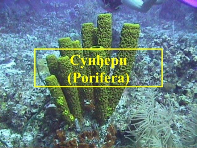 Сунђери (Porifera)