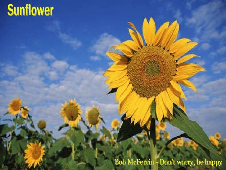 Sunflower Bob McFerrin - Don't worry, be happy