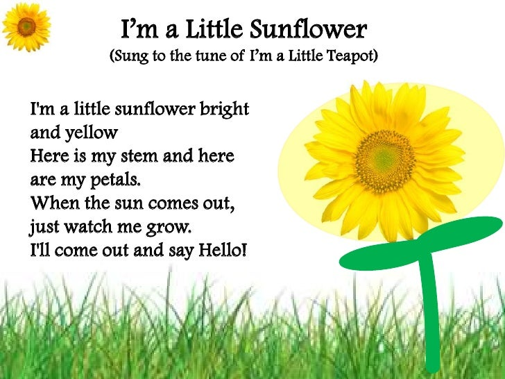 I'm a Little Sunflower<br />(Sung to the tune of I'm a Little Teapot)<br />I'm a little sunflower bright and yellowHere is...