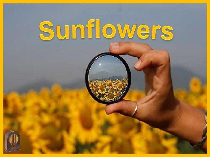 Sunflowers<br />