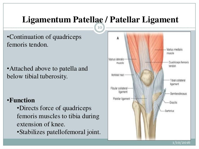 Anatomy of knee joint ppt