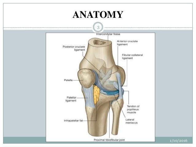 Anatomy knee joint