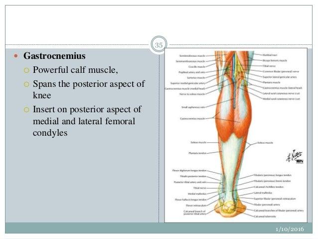 Anatomy of a calf