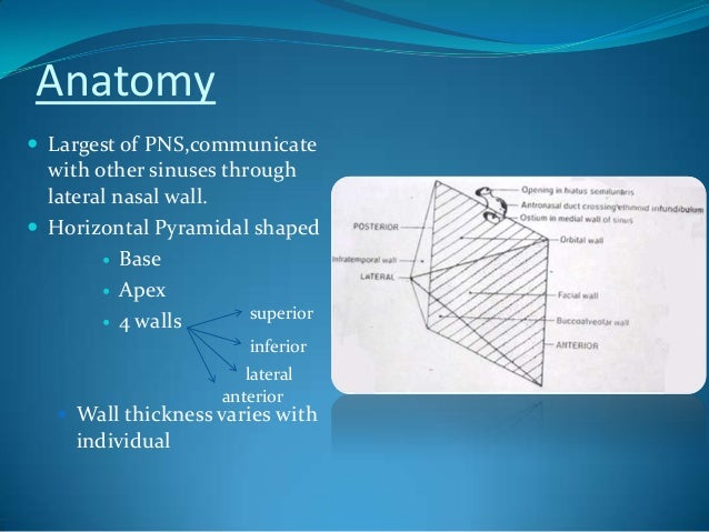 Surgical Anatomy Of Maxillary Sinus Note On 2
