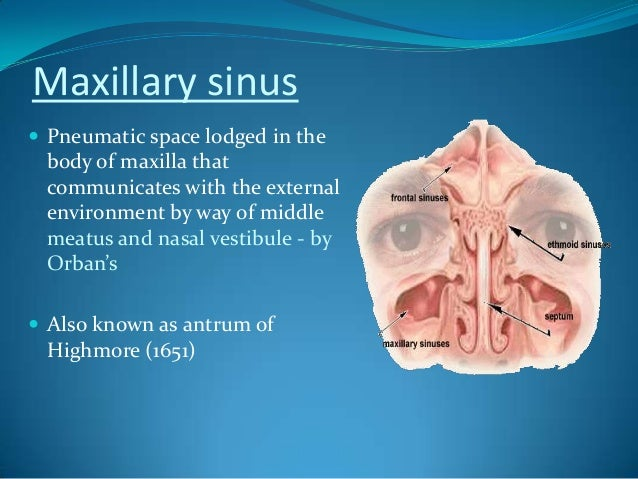 Maxillary antrum anatomy