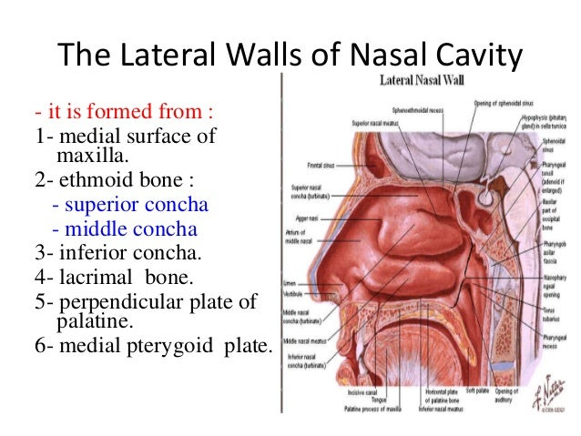 Anatomy of the nose turbinates