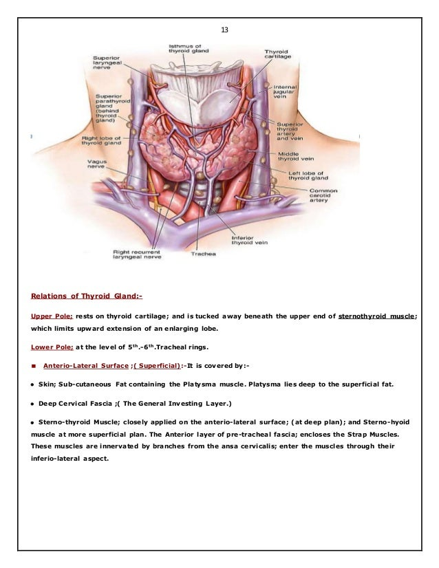 Fantastisch Anatomy And Physiology Of Parathyroid Gland Galerie ...