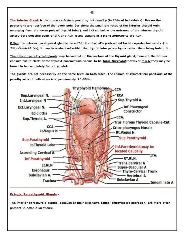 Gemütlich Thyroid Anatomy And Physiology Ideen - Anatomie Ideen ...