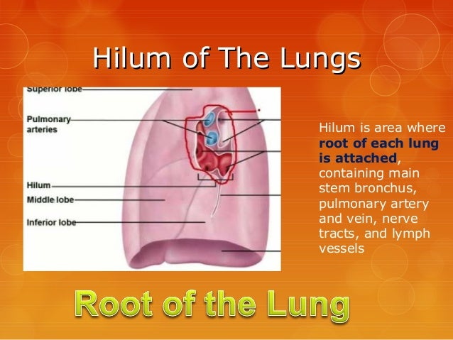 Lung hilar anatomy