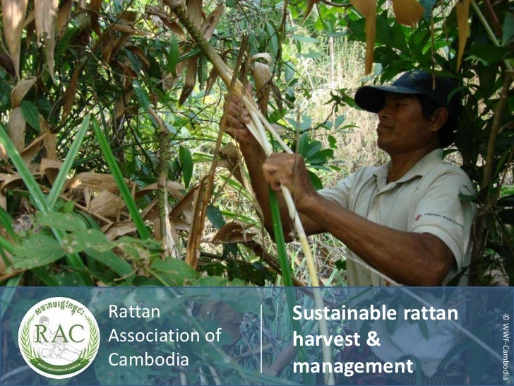 Sustainable rattan harvest and management in Cambodia