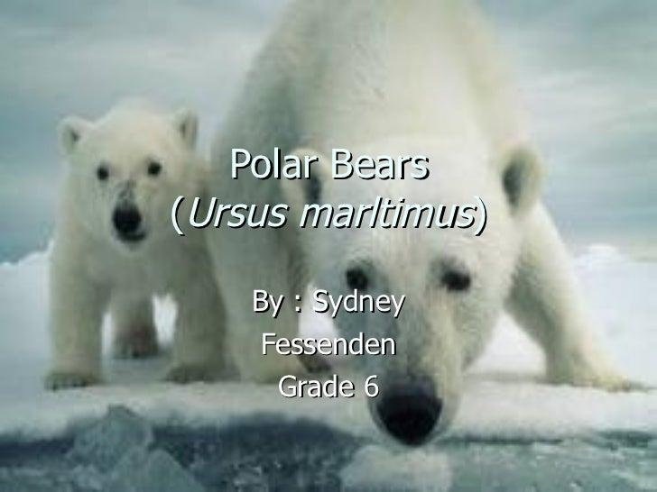 Polar Bears ( Ursus marltimus ) By : Sydney Fessenden Grade 6