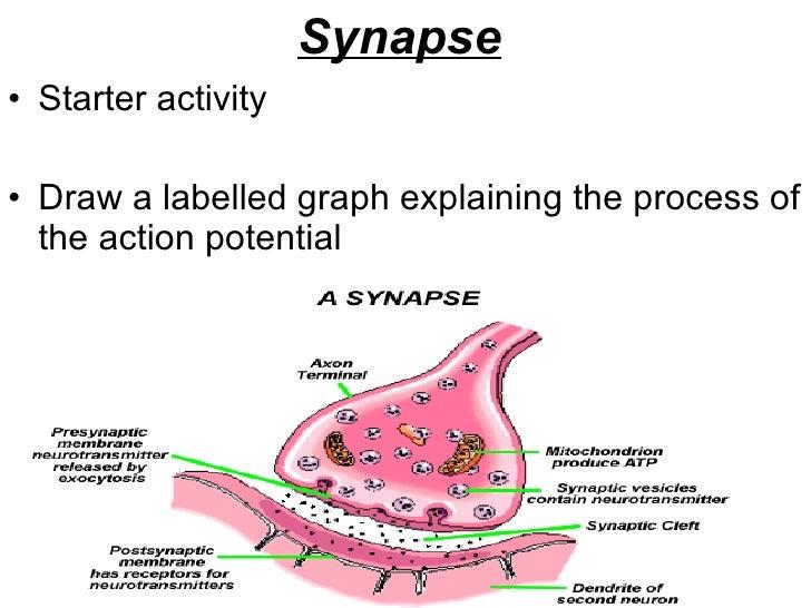 Synapse   <ul><li>Starter activity </li></ul><ul><li>Draw a labelled graph explaining the process of the action potential ...