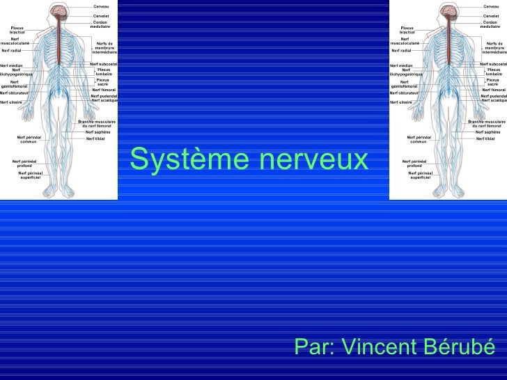 Système nerveux   Par: Vincent Bérubé