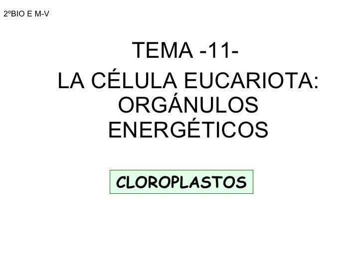 2ºBIO E M-V TEMA -11-  LA CÉLULA EUCARIOTA: ORGÁNULOS ENERGÉTICOS CLOROPLASTOS
