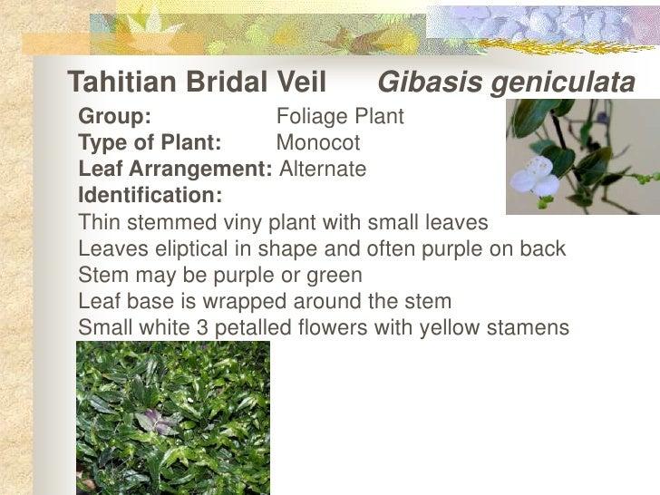 Tahitian Bridal Veil Show