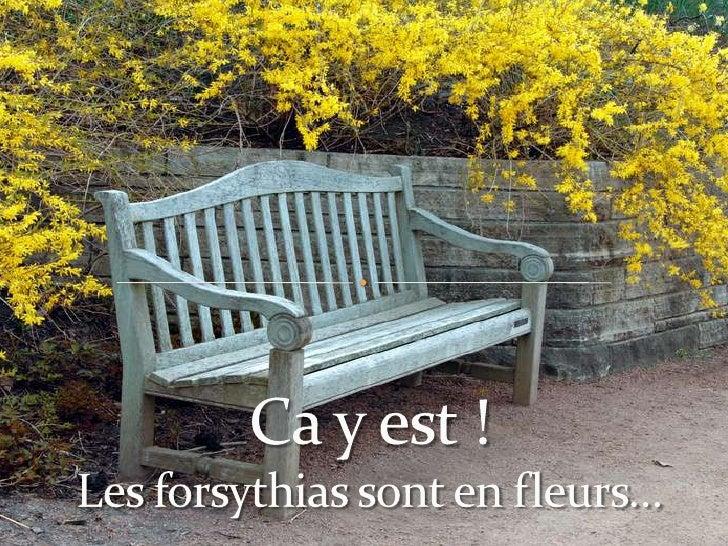 Ca y est !Les forsythias sont en fleurs…<br />