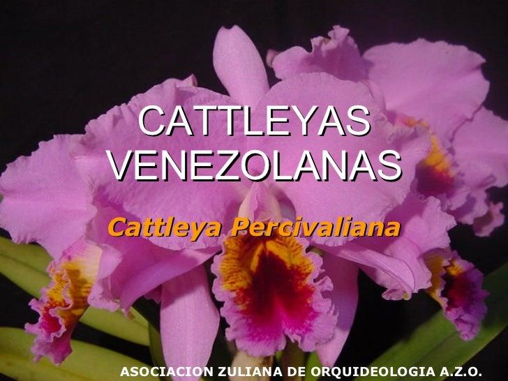 CATTLEYAS VENEZOLANAS Cattleya   Percivaliana ASOCIACION ZULIANA DE ORQUIDEOLOGIA A.Z.O.