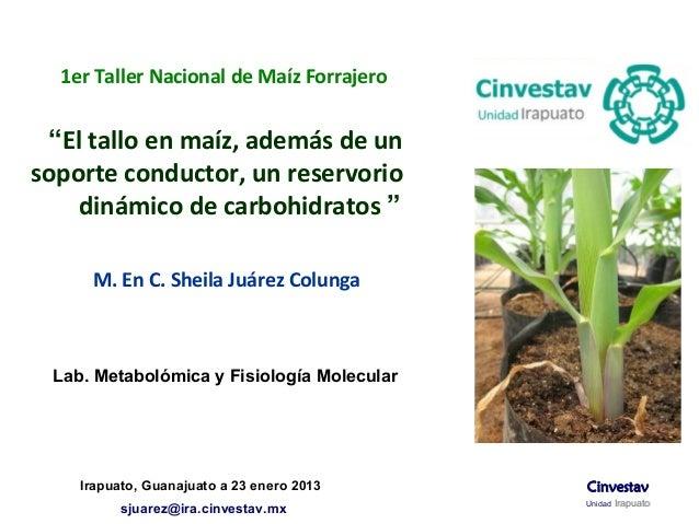 """1er Taller Nacional de Maíz Forrajero """"El tallo en maíz, además de unsoporte conductor, un reservorio    dinámico de carbo..."""