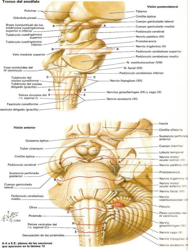 6.1 Tronco encefalico - Anatomia del sistema nervioso y organos de ...