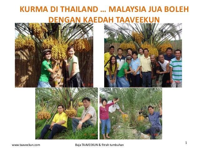 www.taaveekun.com Baja TAAVEEKUN & fitrah tumbuhan 1 KURMA DI THAILAND … MALAYSIA JUA BOLEH DENGAN KAEDAH TAAVEEKUN