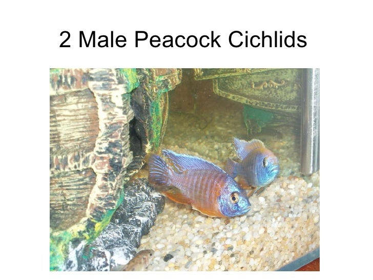 2 Male Peacock Cichlids
