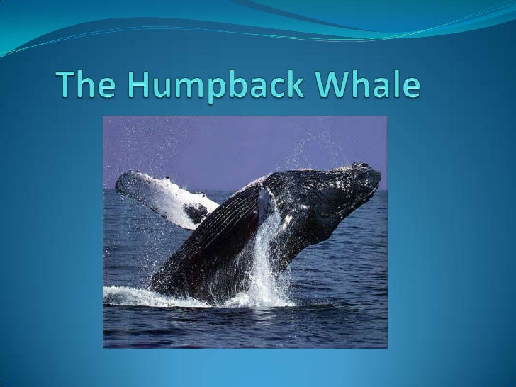 The Humpback Whale<br />