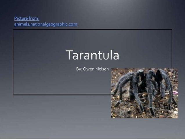 Tarantulaowen