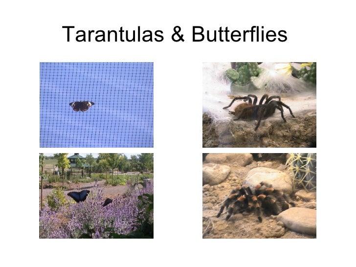 Tarantulas & Butterflies