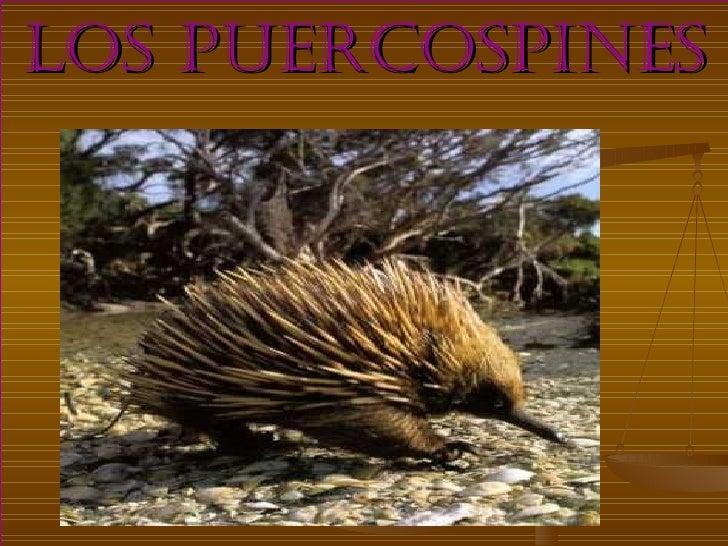 LOS PUERCOSPINES
