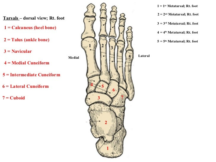 1 2 3 4 5 7 6 5 4 3 2 1 Medial Lateral 1 = 1 st  Metatarsal; Rt. foot 2 = 2 nd  Metatarsal; Rt. foot 3 = 3 rd  Metatarsal;...