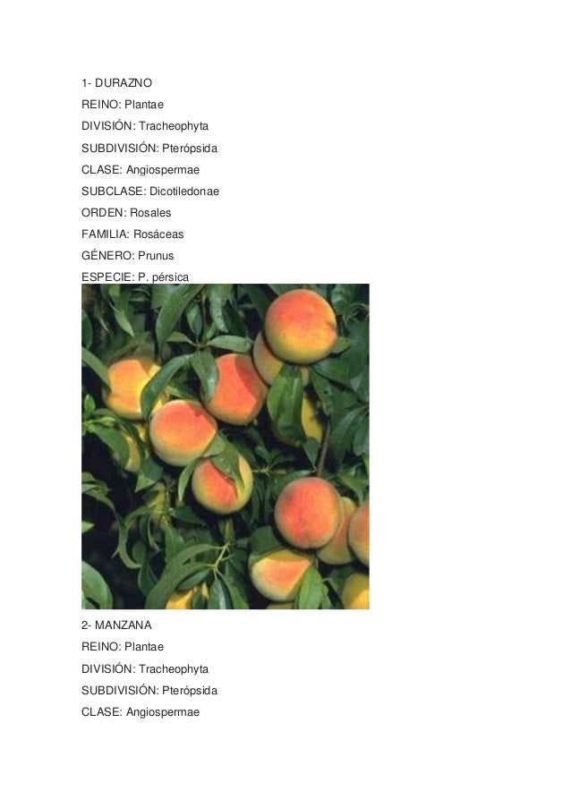 1- DURAZNOREINO: PlantaeDIVISIÓN: TracheophytaSUBDIVISIÓN: PterópsidaCLASE: AngiospermaeSUBCLASE: DicotiledonaeORDEN: Rosa...