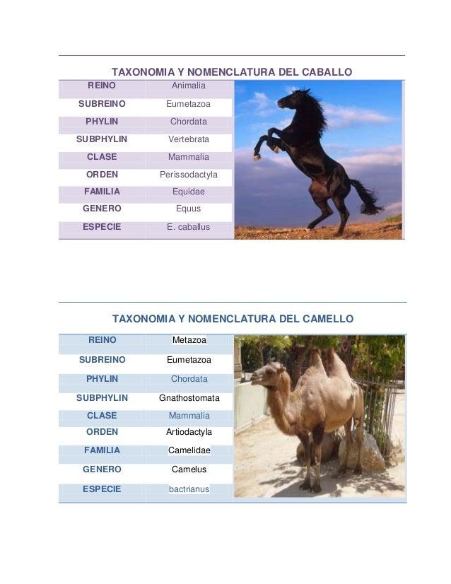 TAXONOMIA Y NOMENCLATURA DEL CABALLO REINO Animalia SUBREINO Eumetazoa PHYLIN Chordata SUBPHYLIN Vertebrata CLASE Mammalia...