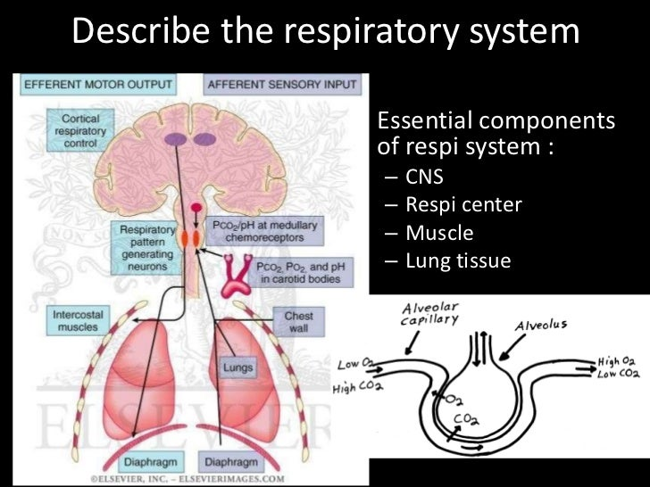 Describe the respiratory system                 • Essential components                   of respi system :                ...