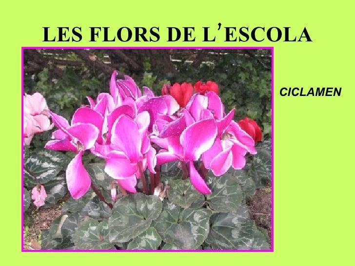 LES FLORS DE L'ESCOLA CICLAMEN