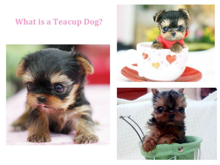 What is a Teacup Dog?