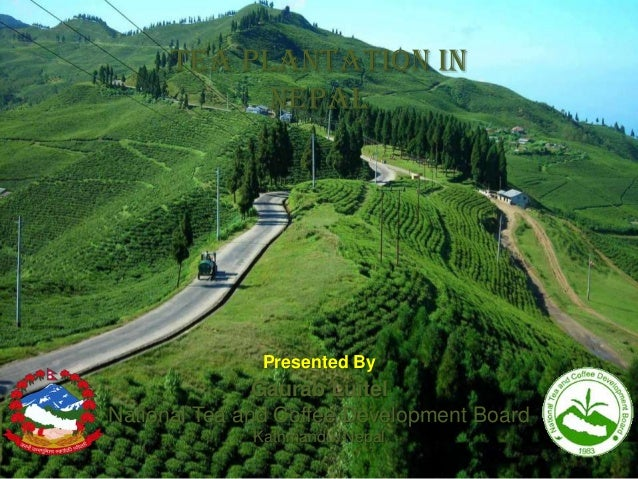 Tea plantation in nepal